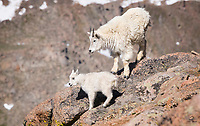 Yearling Mountain Goat (Oreamnos americanus) keeps an eye on the kid, as they both perch on the narrow edge of a cliff overlooking a huge drop.  The kid seems like an eager and happy learner.  Mount Evans, Colorado.