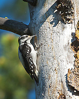 Downy Woodpecker, Yellowstone National Park