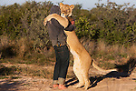 Botswana, Kalahari, Valentin Gruener  with a lioness he raised on a private reserve from a small dying cub to a healthy adult; every time the man lets her out of the enclosure the lioness joyfully jumps up and embraces him