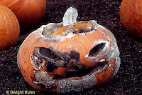 DC08-070a  Decomposing jack-o-lantern pumpkin, mold