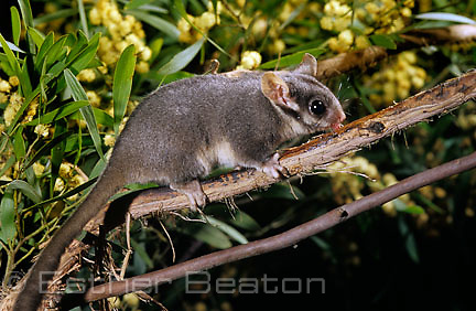 Leadbeater's Possum (Gymnobelideus leadbeateri) nocturnal sole habitat is Mountain Ash forest in Central Highlands Victoria. Endangered species Acacia  blossoms in bkgd.