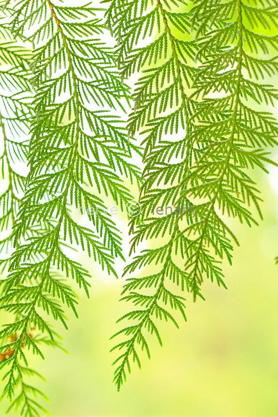 Rameaux Cèdre de l'Ouest, thuya géant ou thuya géant de Californiede (Thuja plicatilis = Thuja plicata) // foliage of Thuja plicata - Western Redcedar