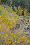 Dirt road running through aspen forest in the fall, Toiyabe National Forest, California