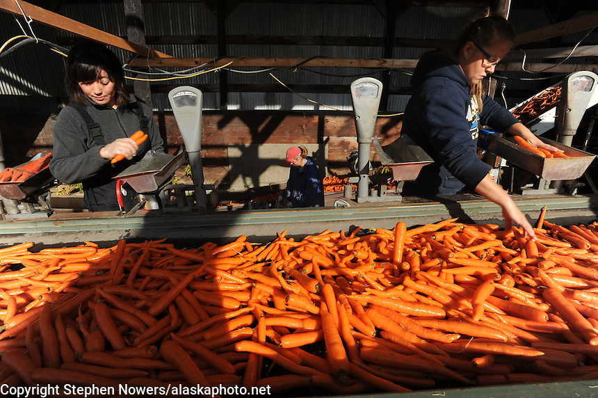 Farm hands with Vanderweele Farm in Palmer, Alaska, bag carrots for sale.