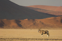 An oryx or gemsbok stands in front of the red dunes near Sossusvlei. They extend nearly 70km to the coast and present a deeply hostile environment. In the hot season, day-time temperatures can reach as high as 70 degrees centigrade. The highest dunes are about 1,000 feet.