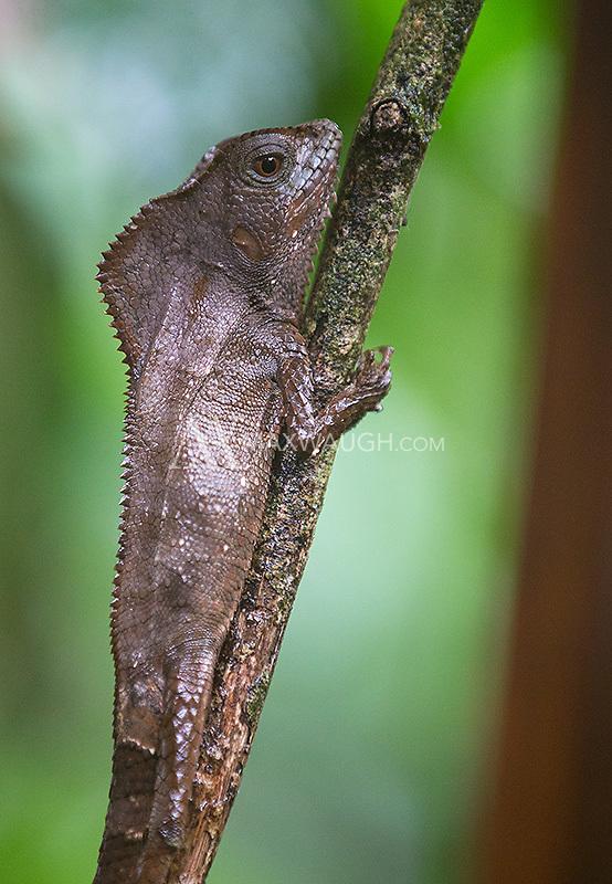 A helmeted basilisk stays camouflaged.
