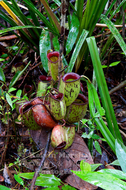 Nepenthes ampullaria is a most interesting and bizarre species of Nepenthes. It grows in heath and swamp forest, as well as wet rainforest. It prefers a more shady location than many species, where the plant spreads and forms a mat of basal rosettes and pitchers across the forest floor.Climbing stems often trail along the forest floor for many metres before climbing into the canopy, where a flower spike will be produced. Upper pitchers are rare, but a climbing stem will produce clusters of lower pitchers along it, like bunches of grapes. It is believed that the pitchers are specialised to catch and decompose fallen leaf litter...