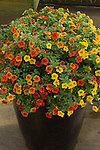 CALIBRACHOA 'CAN-CAN TERRACOTTA', MILLION BELLS