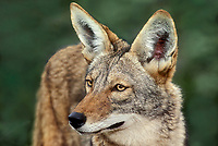 617509024 portrait of a coyote canis latrans a wildlife rescue animal at a wildlife rescue facility