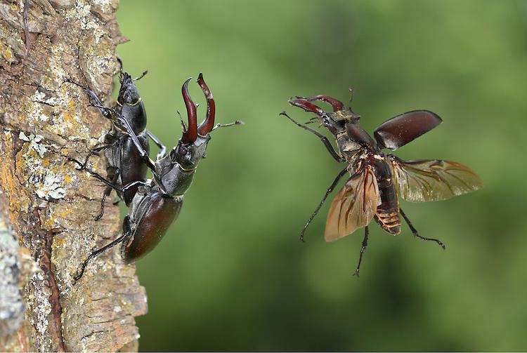 Stag Beetles - Lucanus cervus