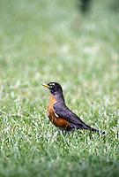 Robin, Turdus migratorius,
