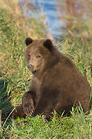 Brown bear cub along the Brooks river, Katmai National Park, Alaska.