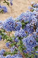 Ceanothus 'Victoria' many blue flowers impressus thyrsiflora, thyrsiflorus