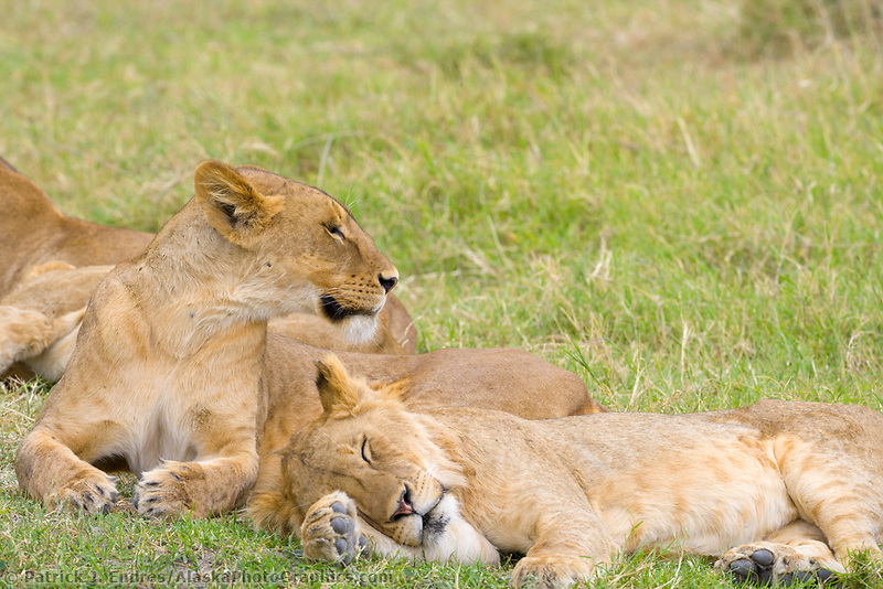 Lion, Ngnorongoro National Park, Tanzania, East Africa