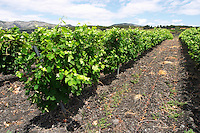 Slate. Vineyard. The black soil. Called Terres Brulees, burnt soil. Syrah. Domaine Piquemal, Espira de l'Agly, Roussillon, France