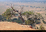 Precarious Pinyon Pine, Arches Trail, Losee Canyon Area, Red Canyon, Dixie National Forest, Utah