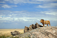 Male lion on Gol Kopjes in Serengeti National Park