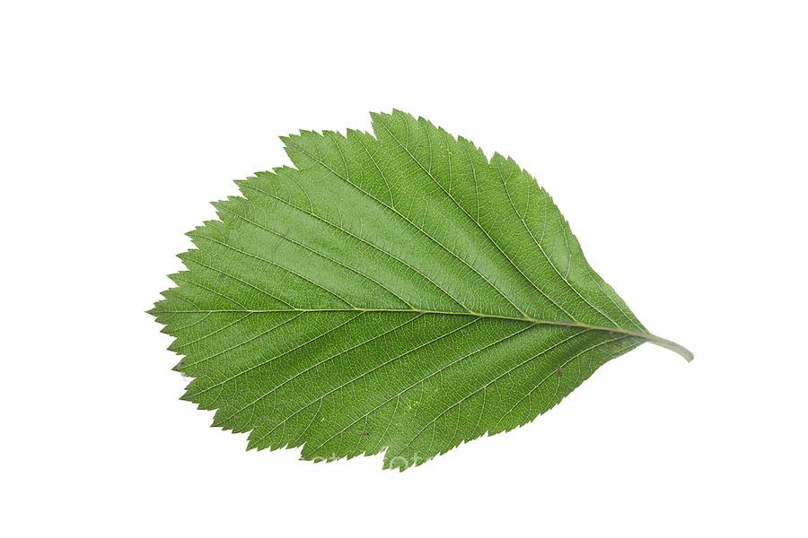 Gewöhnliche Mehlbeere, Mehl-Beere, Sorbus aria, Whitebeam, Alisier blanc, Alouchier. Blatt, Blätter, leaf, leaves