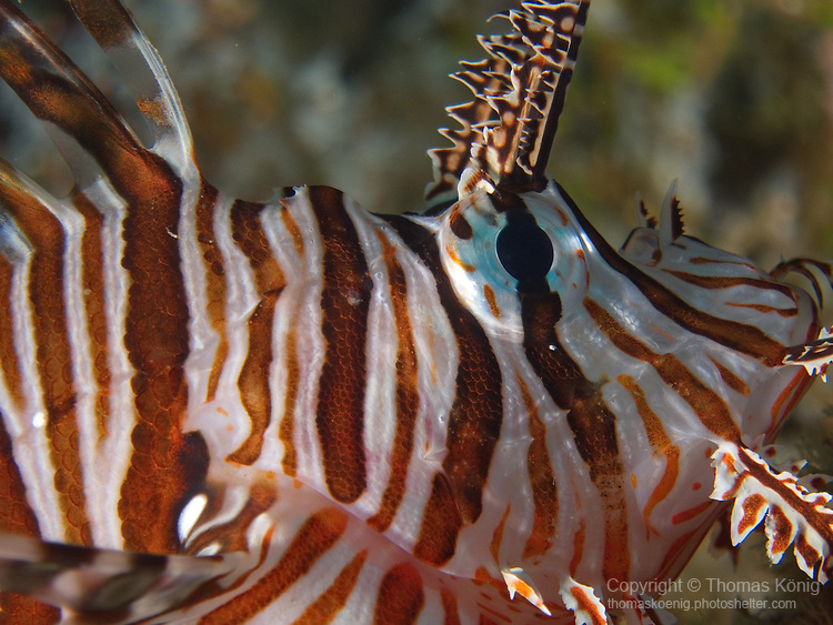 Kenting, Taiwan -- Close-up of a common lionfish.