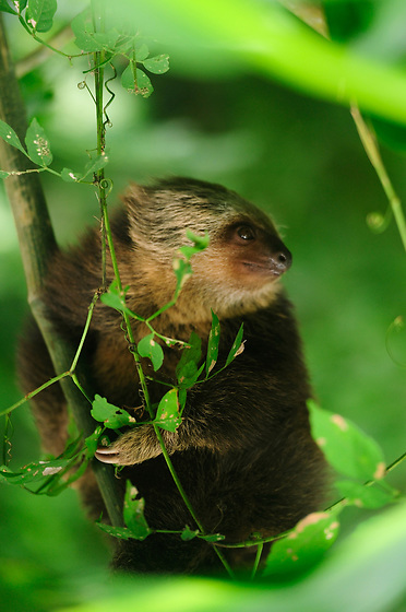 Perezoso did&aacute;ctilo de Hoffmann / Parque Nacional Camino de Cruces, Panam&aacute;.<br /> <br /> Edici&oacute;n de 10 | V&iacute;ctor Santamar&iacute;a.<br /> <br /> Hoffmann's two-toed sloth / Camino de Cruces National Park, Panama.<br /> <br /> Edition of 10 | V&iacute;ctor Santamar&iacute;a.