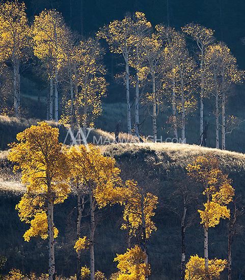 Aspens in autumn.