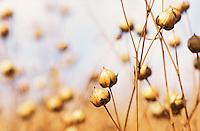 "Europa Deutschland DEU .Ölleinen Flachsfeld in Mecklenburg - Landwirtschaft Agrar Feldbau Pflanzen Energiepflanzen Samen Leinsamen Biomasse Nutzflachs Flachs Flax Leinen Lein Faserlein Faserleinen Flachspflanze Pflanze Ackerbau Landbau Anbau Feld Felder Acker Boden ernten reif Faser Fasern Faserpflanze Faserpflanzen Flachsfaser Faserflachs Naturtextil Naturtextilien Ökokleidung ökologisch Ökologie Ökolandwirtschaft Biolandwirtschaft Faser Fasern anbauen Subvention subventioniert Agrarsubventionen Subventionen Nachwachsende Rohstoffe nachwachsender Rohstoff Ackerfrucht Biomasse Flachsernte alternative Energie Energiewirt Landwirt Bauer Bauern Öllein Leinöl Leinentextilien Pflanzenöl Leinöl Ölsaat Ölpfnzen Pflanzenöl Leinenkleidung Kleidung Ökoleinen xagndaz | .Europe Germany .flax plant for use of vegetable oil and fibre  - agriculture farming soil renewables energy renewable resources resource biomass . | [copyright  (c) agenda / Joerg Boethling , Veroeffentlichung nur gegen Honorar und Belegexemplar an / royalties to: agenda PG   Rothestr. 66   D-22765 Hamburg   ph. ++49 40 391 907 14   e-mail: boethling@agenda-fototext.de   www.agenda-fototext.de   Bank: Hamburger Sparkasse BLZ 200 505 50  kto. 1281 120 178   IBAN: DE96 2005 0550 1281 1201 78  BIC: ""HASPDEHH""] [#0,26,121#]"