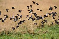 Star, Trupp, Schwarm, Starenschwarm, Sturnus vulgaris, European starling