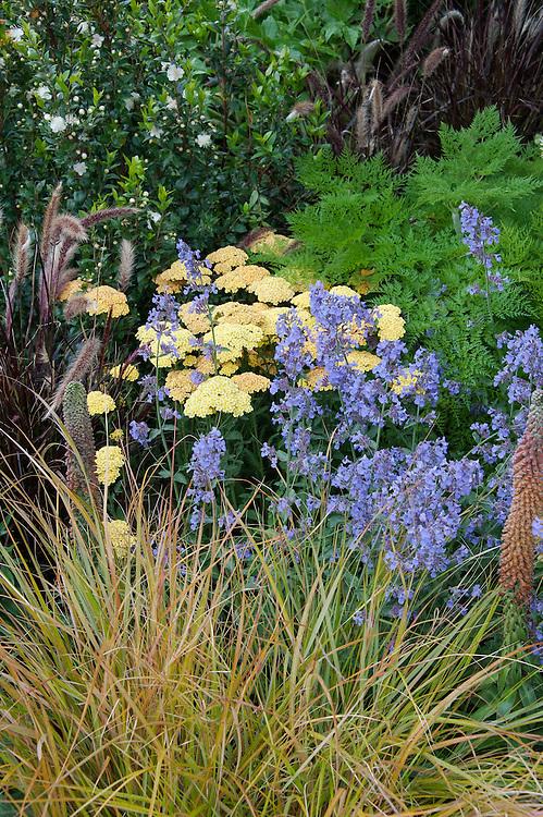 """Achillea 'Inca Gold', Digitalis parviflora, and Nepeta 'Six Hills Giant', with the grasses Anemanthele lessoniana and Pennisetum setaceum 'Rubrum'. Environment Garden section of """"Urban Oasis"""" show garden, designed by Chris Beardshaw, Hampton Court Flower Show 2012."""