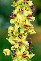 DARK MULLEIN Verbascum nigrum (Scrophulariaceae) Height to 1m. Upright and ridge-stemmed biennial; stems purplish and usually unbranched. Grows on roadside verges and disturbed ground, on calcareous and sandy soils. FLOWERS are 1-2cm across and yellow, the stamens coated in purple hairs; borne in elongated spikes (Jun-Aug). FRUITS are capsules. LEAVES are dark green and oval, lower ones long-stalked, upper ones almost unstalked. STATUS-Locally common in S and E England only.
