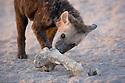 Spotted hyena (Crocuta crocuta) pup with large bone near den entrance, Okavango Delta, Moremi Game Reserve, Botswana