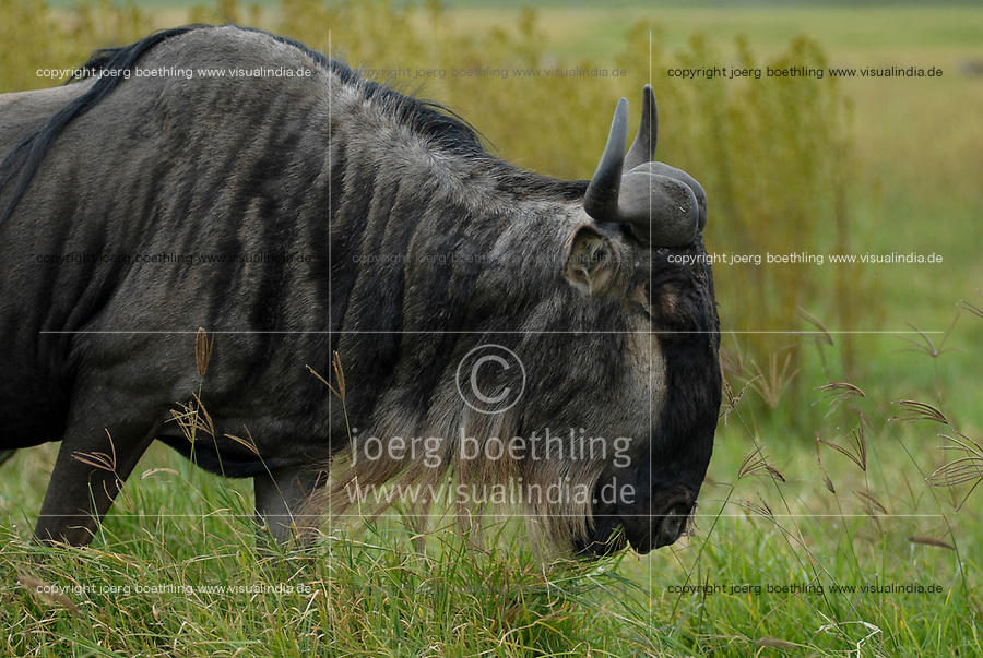 TANZANIA, Nationalpark Ngorongoro Crater near Arusha , wildebeest