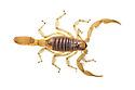 Desert Hairy Scorpion {Hadrurus arizonensis} photographed against a white background. Captive, originating from North America. website