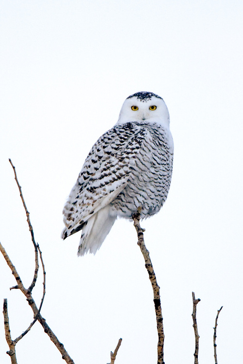 Snowy Owl perched on a tree just after sunset