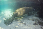 Manatee At Three Sisters Spring Back Pool