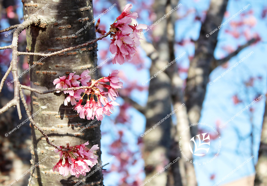 Stock photo - Three beautiful stems of pink cherry blossom flowers extended from the bark.
