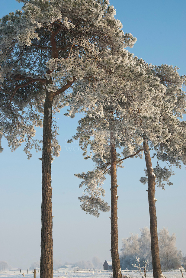 Grove den (Pinua aylvestris), berijpt