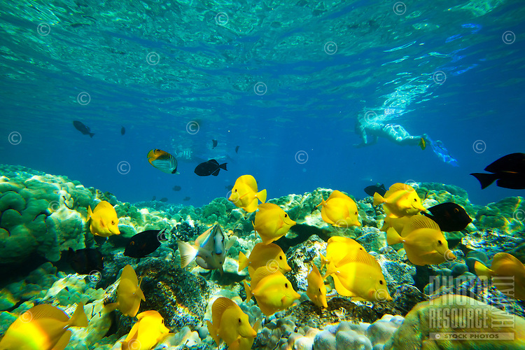 A snorkeler's view of yellow and achilles tang, surgeon and other fish at Kealakekua Bay, Big Island