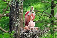 Roseate Spoonbill (Ajaia ajaja) nest.  Southern U.S., May.