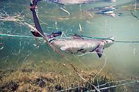 juvenile lemon shark, Negaprion brevirostris, caught in gill net, Florida, USA, Atlantic Ocean, Atlantic Ocean