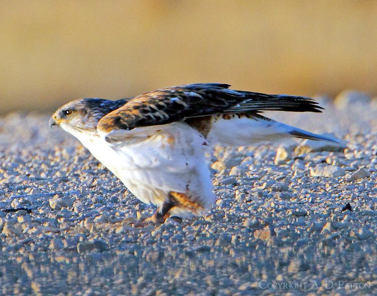Juvenile light-morph ferruginous hawk beginning takeoff