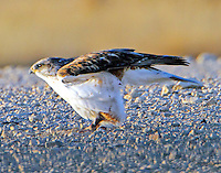 Juvenile light-morph ferruginous hawk beginning takeoff