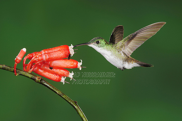 Andean Emerald (Amazilia franciae), adult feeding from flower,Mindo, Ecuador, Andes, South America
