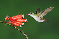 Andean Emerald (Amazilia franciae), adult feeding from flower,Mindo, Ecuador, Andes, South America