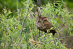 Limpkin (Aramus guarauna), Osceola County, Florida, USA