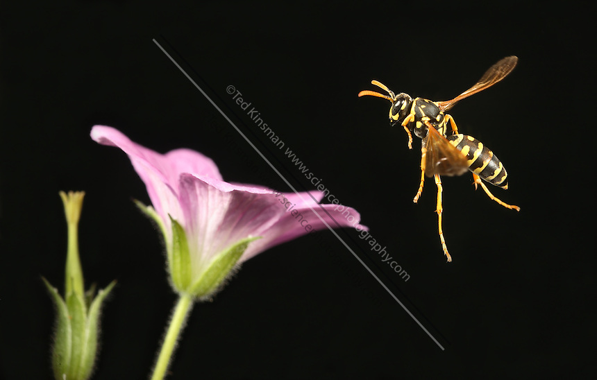 Eastern yellow jacket wasp (Vespula maculifrons) in flight.