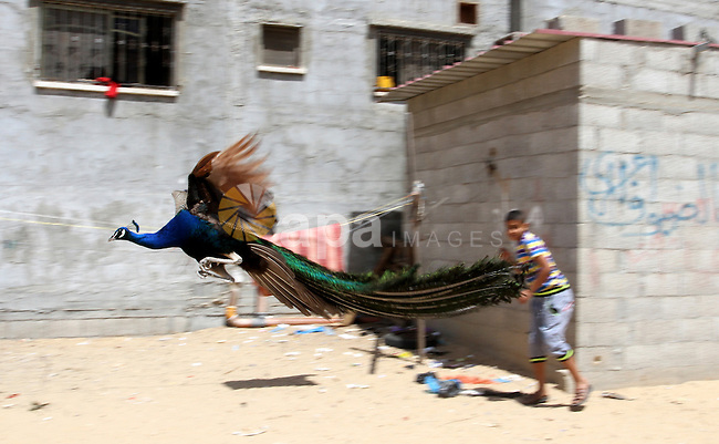A boy runs as a peacock flies at a local breeding farm in Khan Younis in the southern Gaza Strip, May 5, 2015. Male peacocks display and shake its tail feather to attract attention to female peahens during courtship. Photo by Abed Rahim Khatib