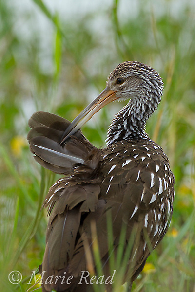 Limpkin (Aramus guarauna) preening, Viera Wetlands, Florida, USA
