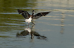 Black-necked Stilt Landing Los Angeles River Southern California