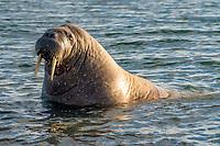 Atlantic walrus, Odobenus rosmarus rosmarus, Moffen Island, Moffen Nature Reserve, Spitsbergen Archipelago, Svalbard and Jan Mayen, Norway, Europe