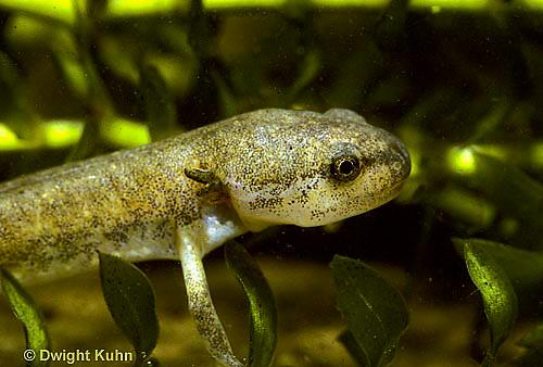 SL04-049x  Salamander - spotted salamander larva with gills, in pond - Ambystoma maculatum